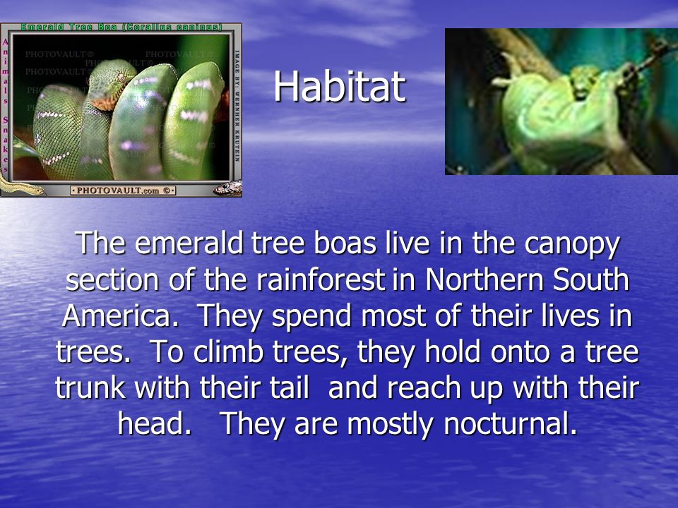 Habitat The emerald tree boas live in the canopy section of the rainforest in Northern South America.