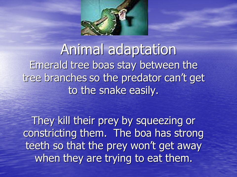 Interesting facts The emerald tree boas are also known as green tree boas and emerald boa.