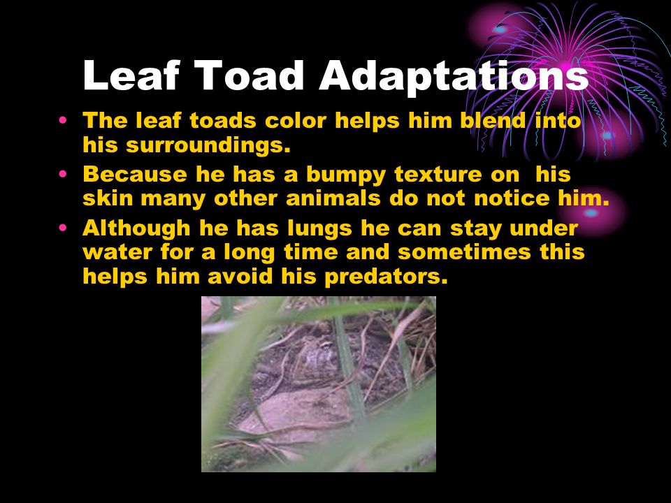 Leaf Toad Adaptations The leaf toads color helps him blend into his surroundings. Because he has a bumpy texture on his skin many other animals do not