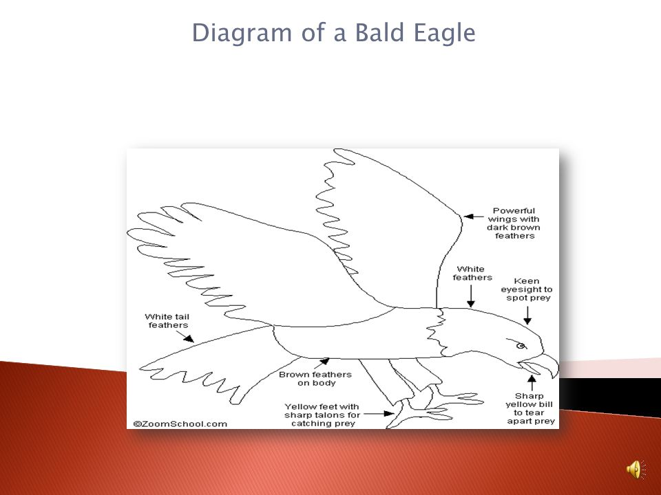 The Bald Eagle has certain characteristics That make it a bird. Here are some of its attributes. They are warm-blooded. They have two wings, two legs,