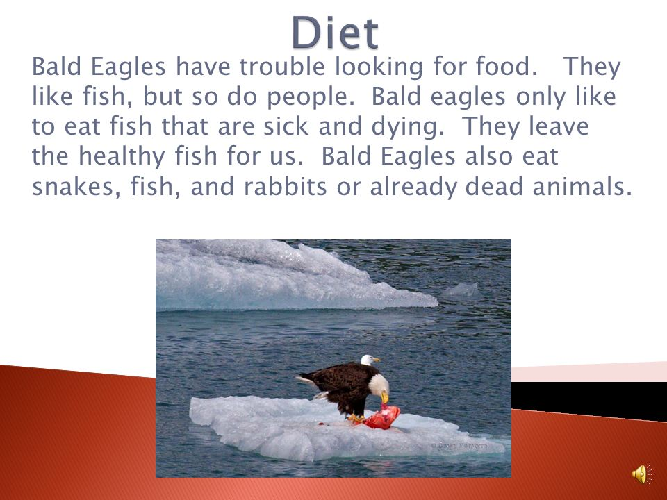 Bald Eagles live near rivers, lakes or the sea. Bald Eagles live near the sea because they can find their favorite food… fish. Most Bald eagles nest a