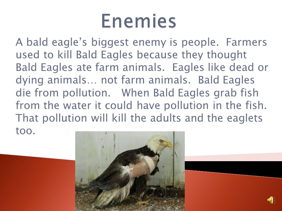 Bald Eagles have trouble looking for food. They like fish, but so do people. Bald eagles only like to eat fish that are sick and dying. They leave the