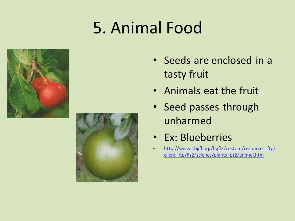 5. Animal Food Seeds are enclosed in a tasty fruit Animals eat the fruit Seed passes through unharmed Ex: Blueberries http://www2.bgfl.org/bgfl2/custo