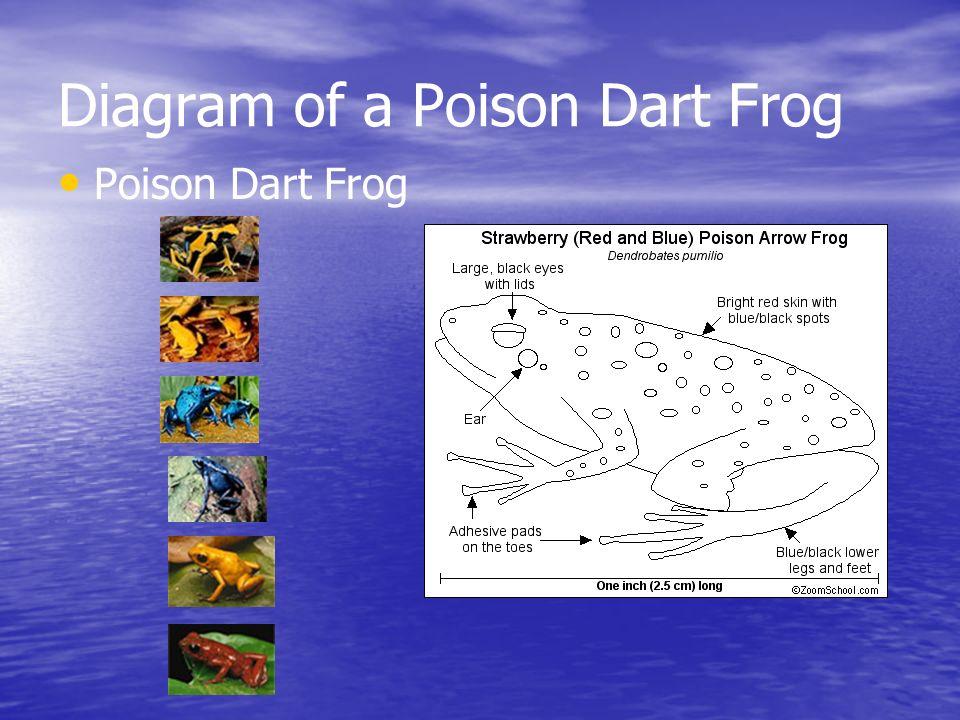 Diagram of a Poison Dart Frog Poison Dart Frog