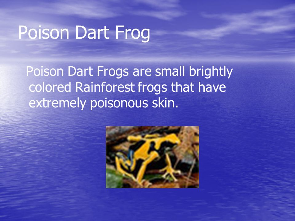 Poison Dart Frogs are small brightly colored Rainforest frogs that have extremely poisonous skin.