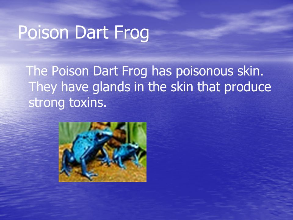 The Poison Dart Frog Diet The poison Dart Frog eats insects and other small arthropods.