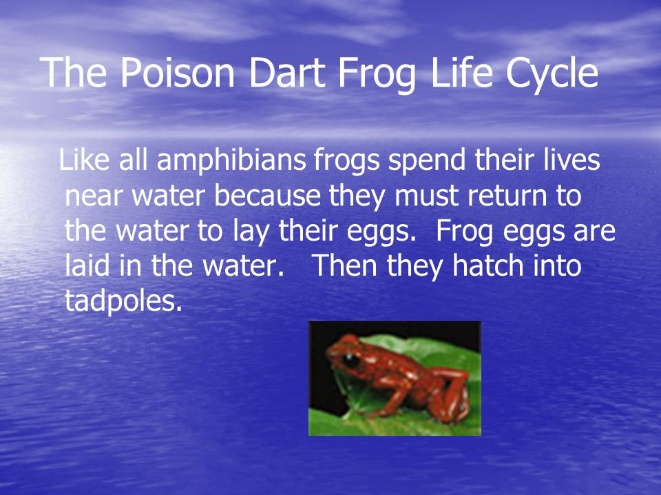 The Poison Dart Frog Life Cycle Like all amphibians frogs spend their lives near water because they must return to the water to lay their eggs. Frog e