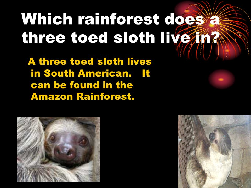 Which rainforest does a three toed sloth live in? A three toed sloth lives in South American. It can be found in the Amazon Rainforest.