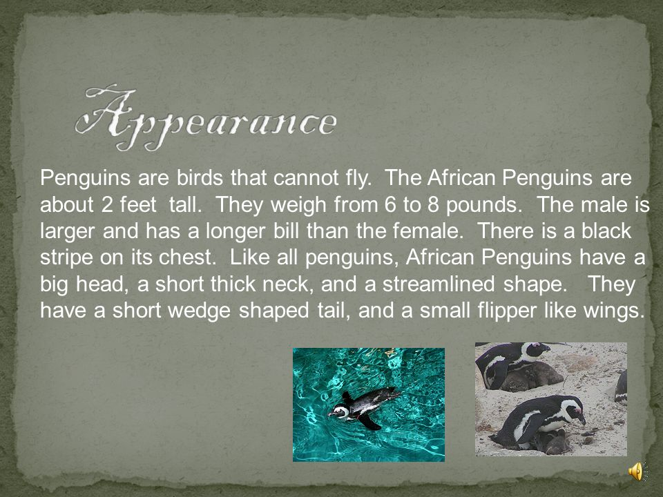 Penguins are birds that cannot fly.The African Penguins are about 2 feet tall.