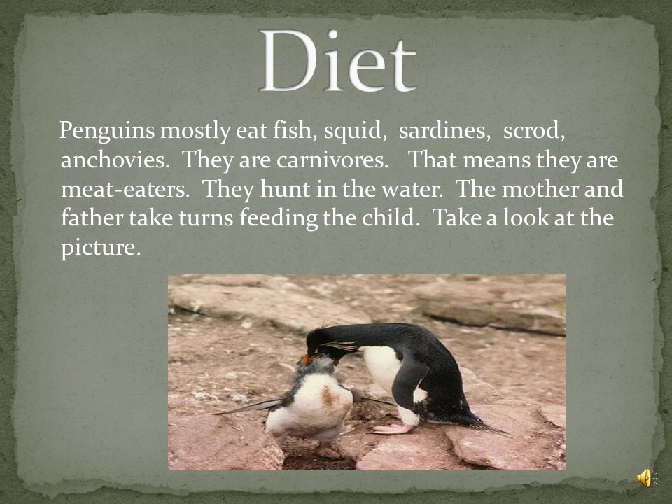 Penguins mostly eat fish, squid, sardines, scrod, anchovies.