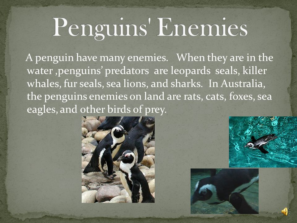 A penguin have many enemies.