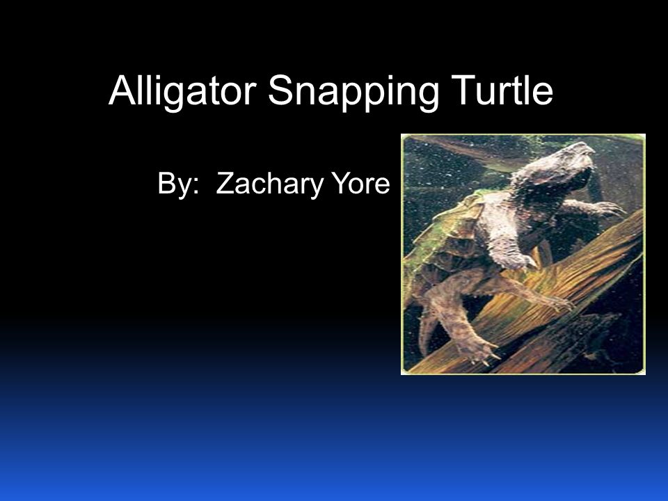Alligator Snapping Turtle By: Zachary Yore