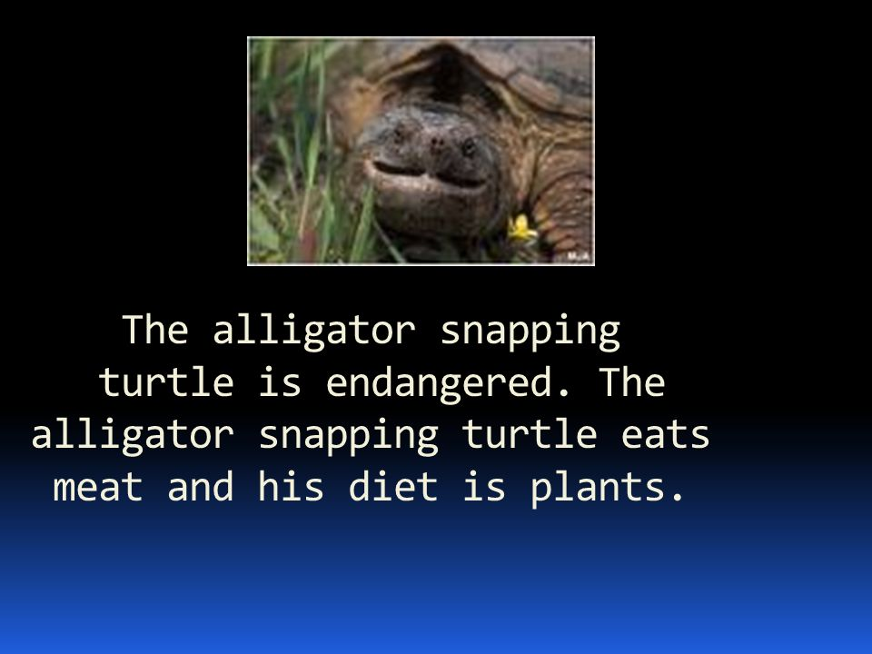 The alligator snapping turtle is endangered. The alligator snapping turtle eats meat and his diet is plants.
