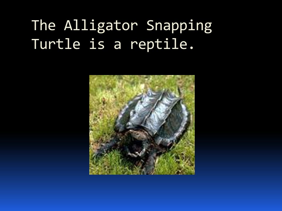 The Alligator Snapping Turtle is a reptile.
