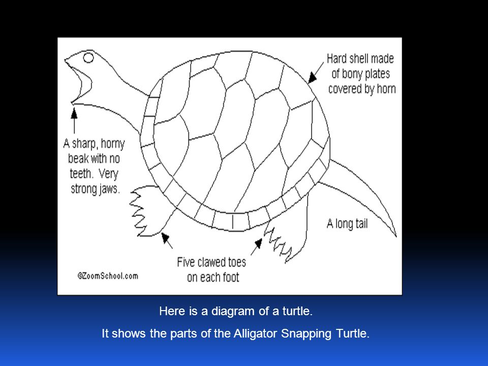 Here is a diagram of a turtle. It shows the parts of the Alligator Snapping Turtle.