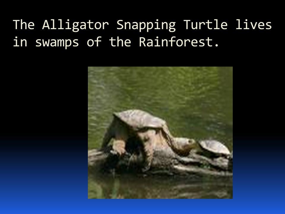 The Alligator Snapping Turtle lives in swamps of the Rainforest.