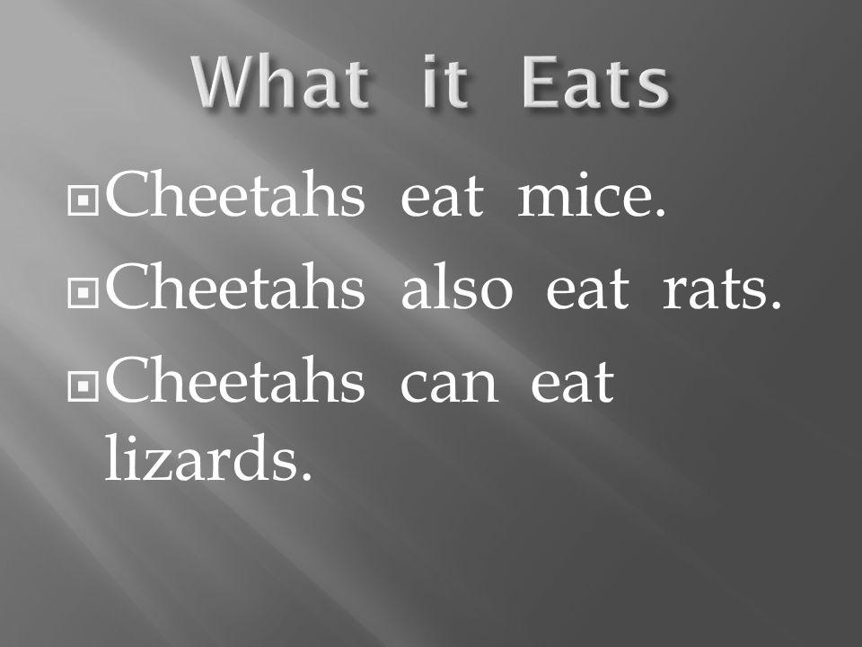 Cheetahs eat mice. Cheetahs also eat rats. Cheetahs can eat lizards.