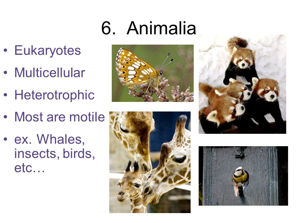 6. Animalia Eukaryotes Multicellular Heterotrophic Most are motile ex. Whales, insects, birds, etc…