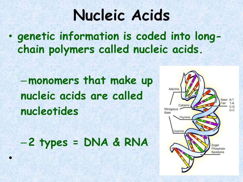Nucleic Acids genetic information is coded into long- chain polymers called nucleic acids. – monomers that make up nucleic acids are called nucleotide