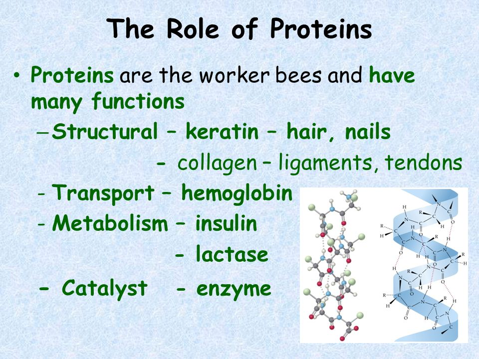 The Role of Proteins Proteins are the worker bees and have many functions – Structural – keratin – hair, nails - collagen – ligaments, tendons -Transp
