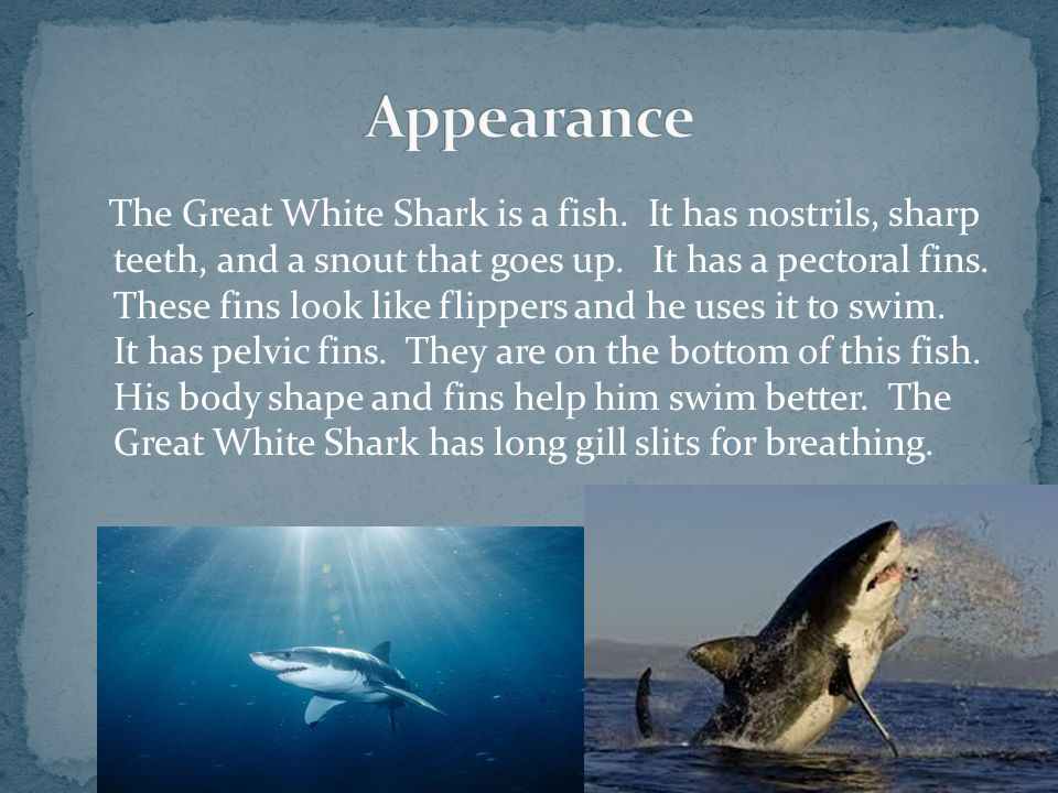 The Great White Shark is a fish. It has nostrils, sharp teeth, and a snout that goes up. It has a pectoral fins. These fins look like flippers and he
