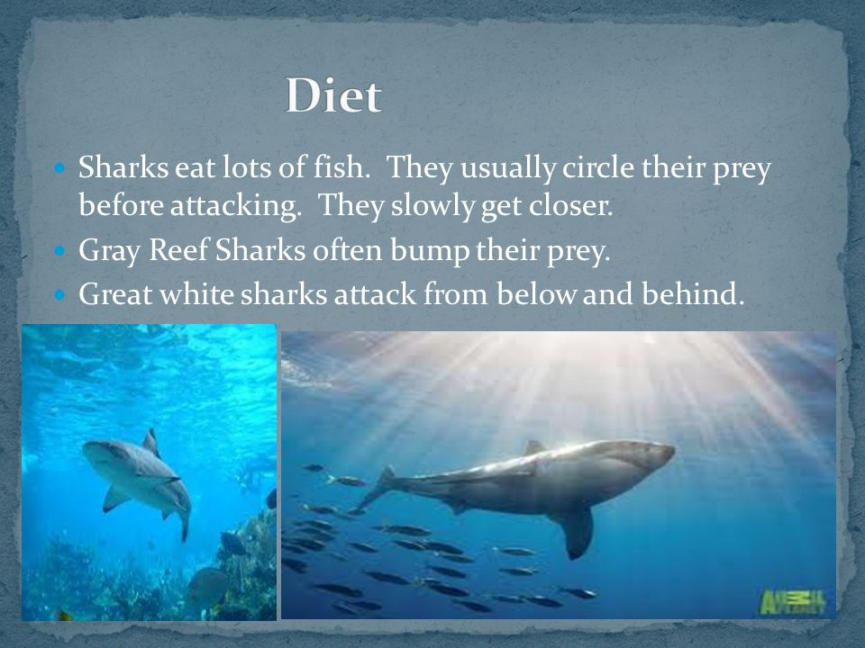 Sharks eat lots of fish. They usually circle their prey before attacking. They slowly get closer. Gray Reef Sharks often bump their prey. Great white