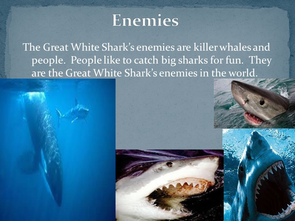 The Great White Sharks enemies are killer whales and people. People like to catch big sharks for fun. They are the Great White Sharks enemies in the w