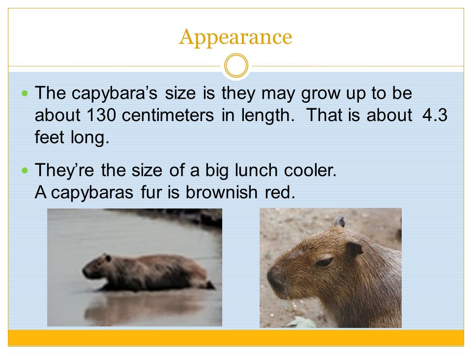 Appearance The capybaras size is they may grow up to be about 130 centimeters in length. That is about 4.3 feet long. Theyre the size of a big lunch c