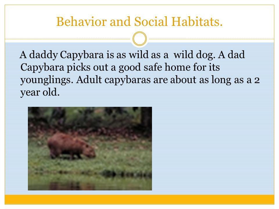 Behavior and Social Habitats. A daddy Capybara is as wild as a wild dog. A dad Capybara picks out a good safe home for its younglings. Adult capybaras