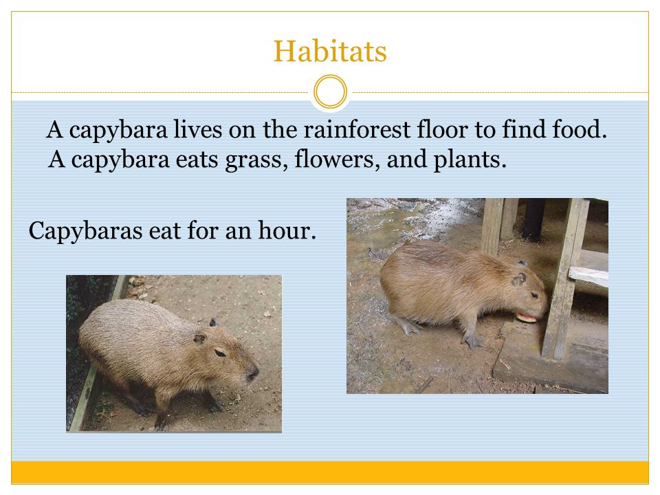 Habitats A capybara lives on the rainforest floor to find food. A capybara eats grass, flowers, and plants. Capybaras eat for an hour.