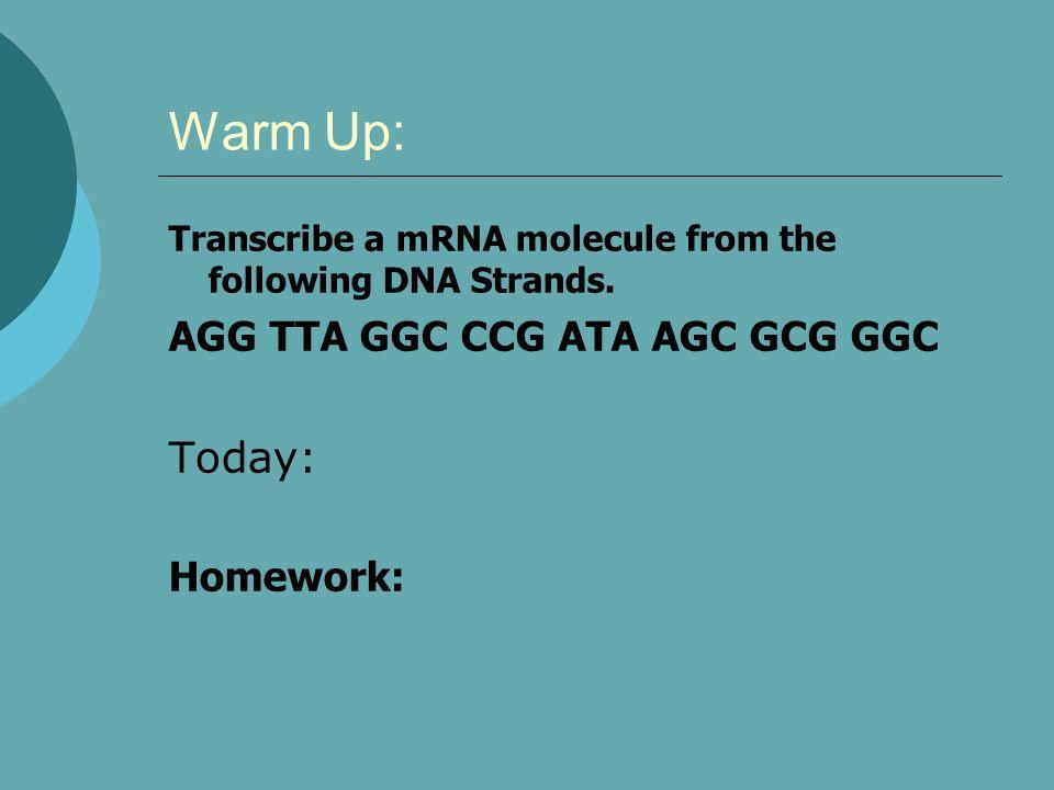 Warm Up: Transcribe a mRNA molecule from the following DNA Strands. AGG TTA GGC CCG ATA AGC GCG GGC Today: Homework: