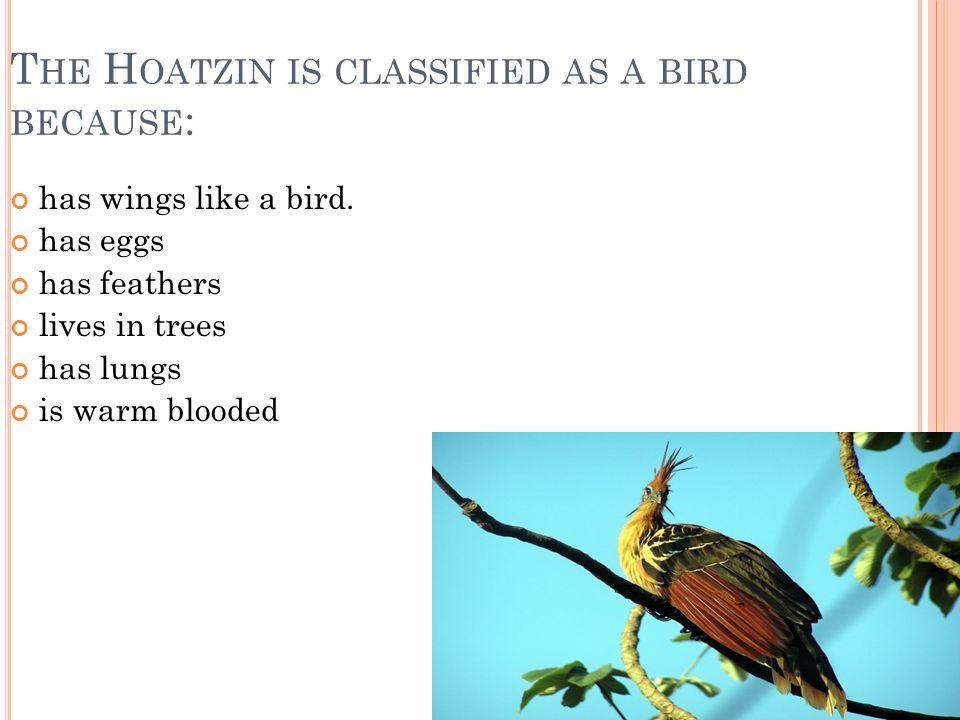 T HE H OATZIN IS CLASSIFIED AS A BIRD BECAUSE : has wings like a bird.