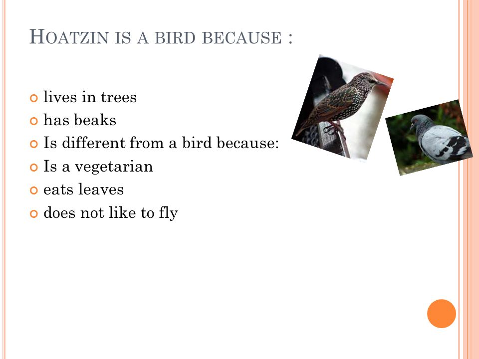 H OATZIN IS A BIRD BECAUSE : lives in trees has beaks Is different from a bird because: Is a vegetarian eats leaves does not like to fly