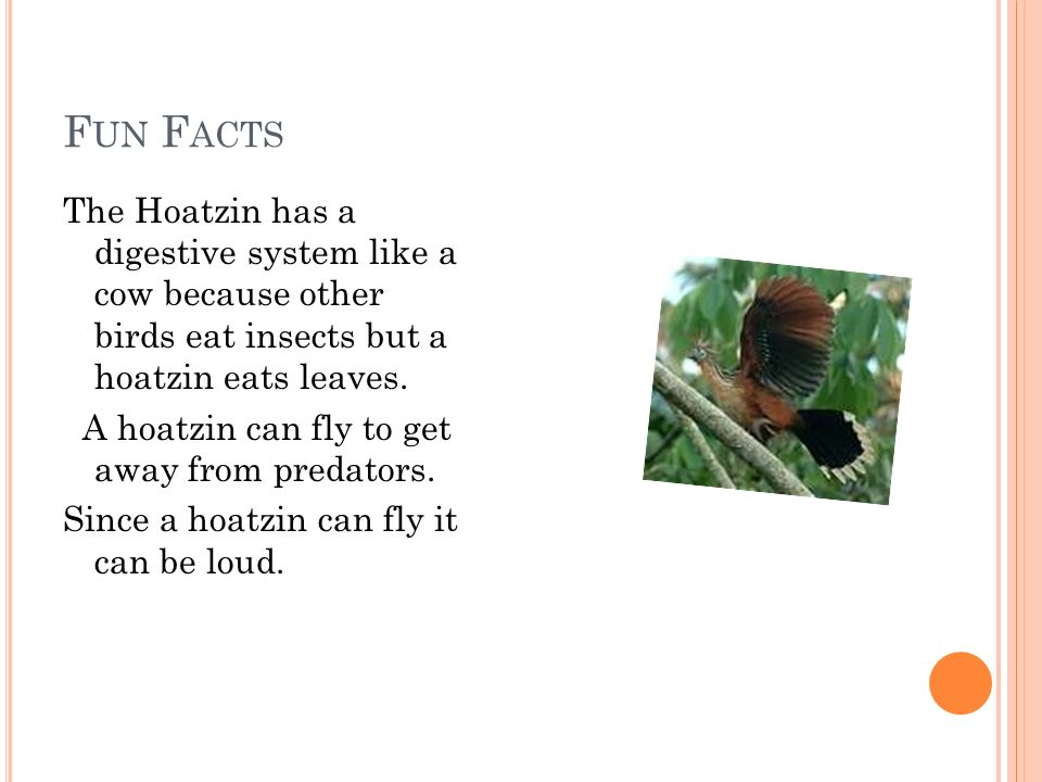 F UN F ACTS The Hoatzin has a digestive system like a cow because other birds eat insects but a hoatzin eats leaves.
