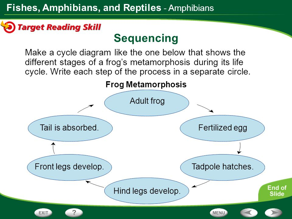 Fishes, Amphibians, and Reptiles Sequencing Make a cycle diagram like the one below that shows the different stages of a frogs metamorphosis during it