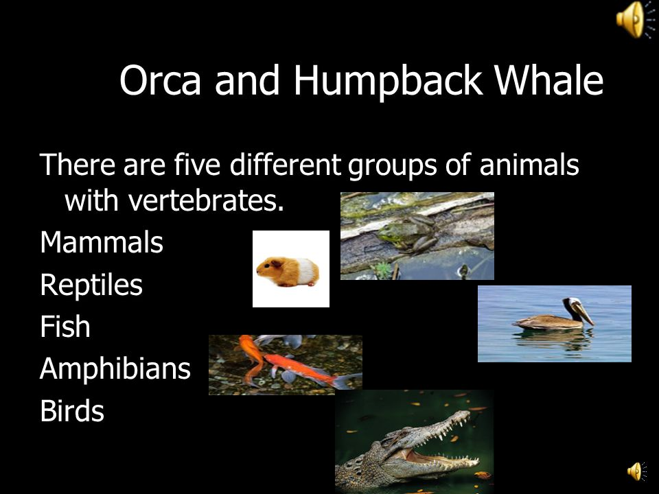 Orca and Humpback Whale There are five different groups of animals with vertebrates.