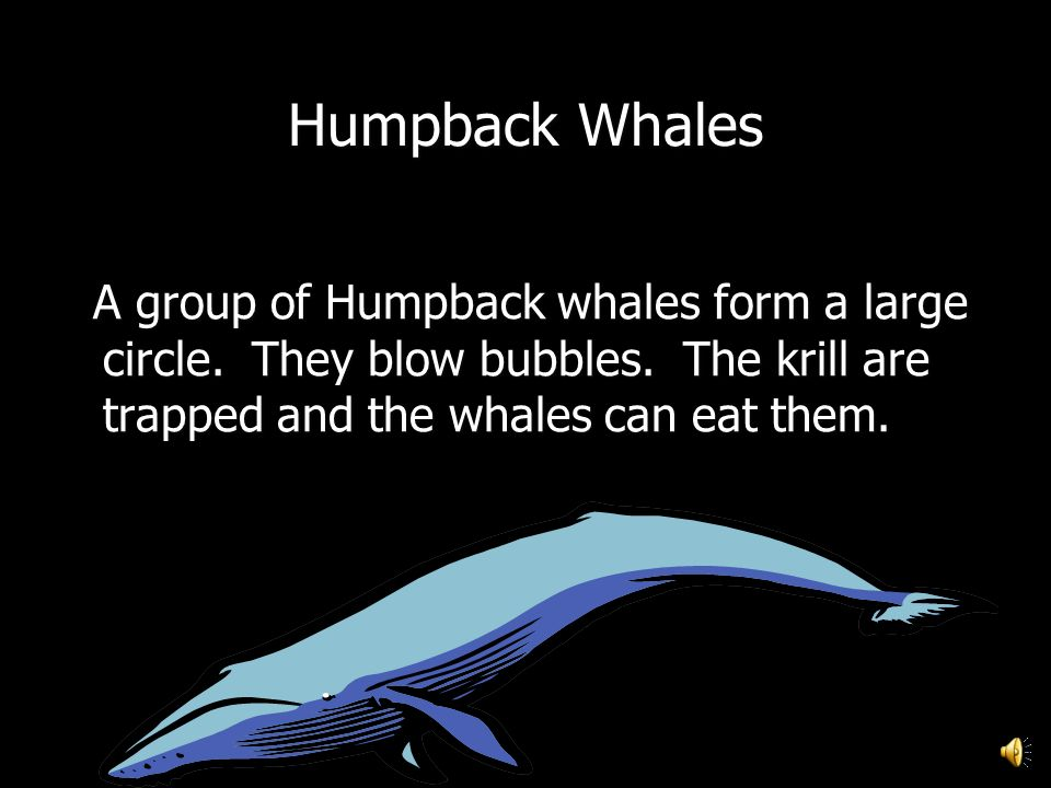 Heres some details about Humpback Whales. Heres some details about Humpback Whales. Some Whales do NOT have teeth. The Humpback whale is a baleen whal