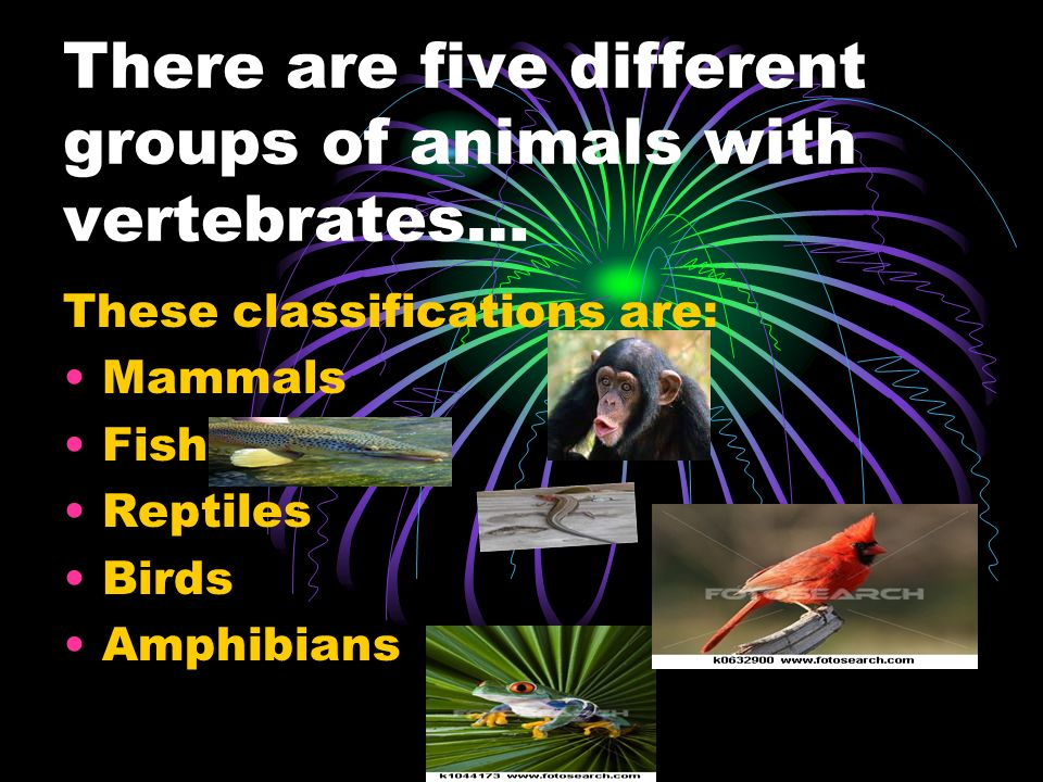 There are five different groups of animals with vertebrates… These classifications are: Mammals Fish Reptiles Birds Amphibians