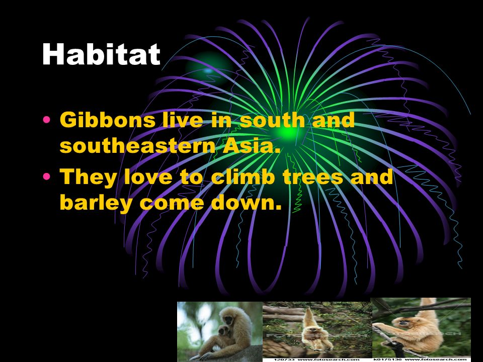 Habitat Gibbons live in south and southeastern Asia. They love to climb trees and barley come down.