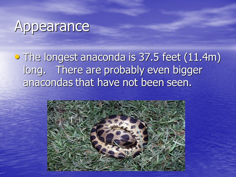 Appearance The longest anaconda is 37.5 feet (11.4m) long.