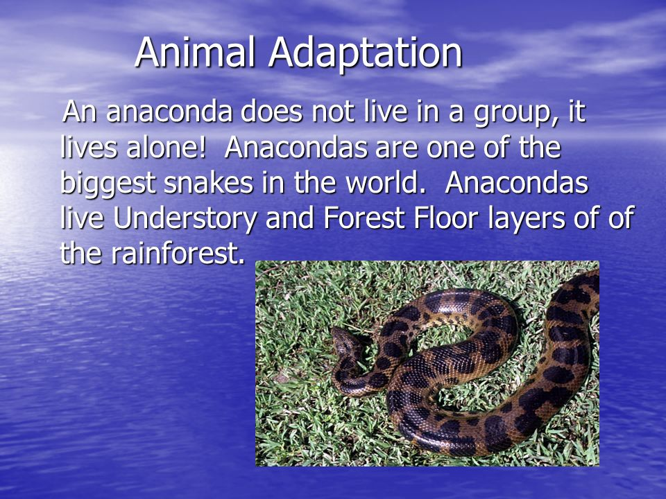 Animal Adaptation An anaconda does not live in a group, it lives alone! Anacondas are one of the biggest snakes in the world. Anacondas live Understor