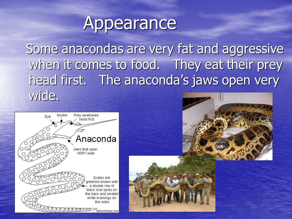 Appearance Some anacondas are very fat and aggressive when it comes to food. They eat their prey head first. The anacondas jaws open very wide. Some a