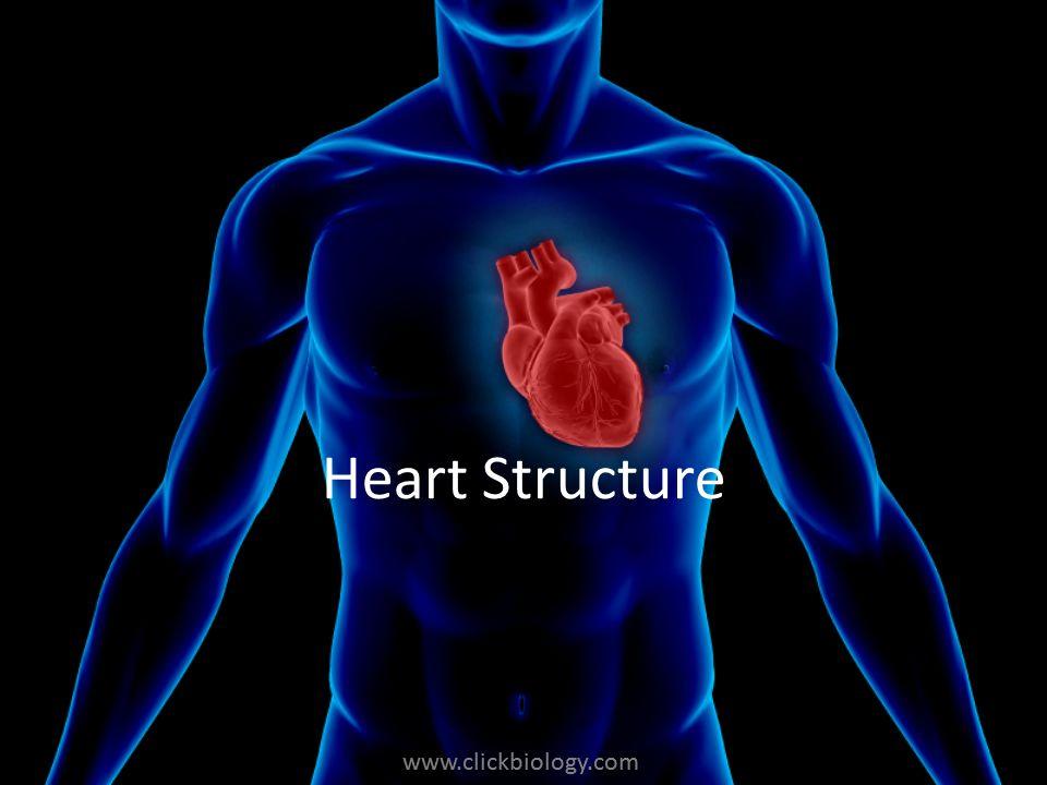 www.clickbiology.com Heart Structure