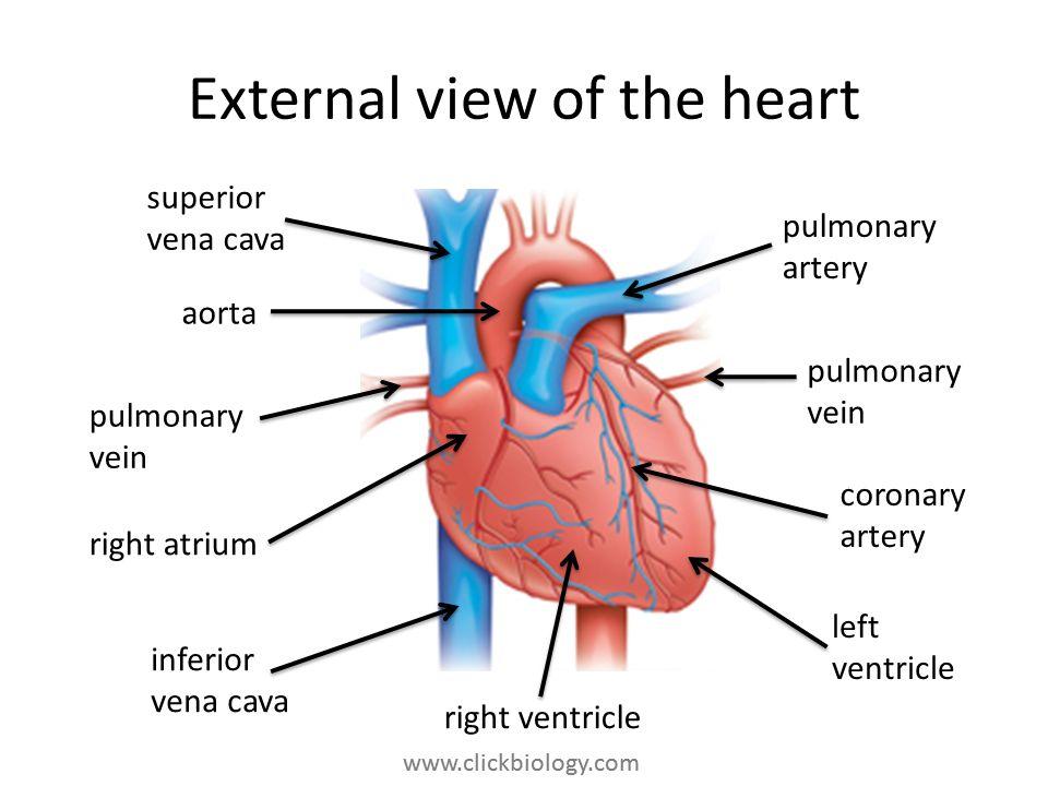 www.clickbiology.com External view of the heart pulmonary artery pulmonary vein coronary artery left ventricle right ventricle inferior vena cava righ