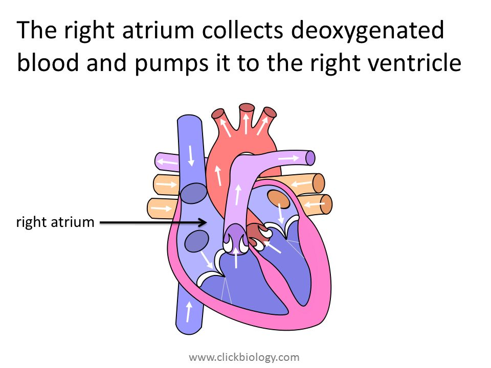www.clickbiology.com The right atrium collects deoxygenated blood and pumps it to the right ventricle right atrium