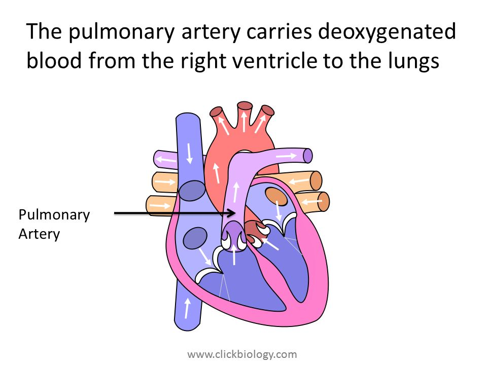 www.clickbiology.com The pulmonary artery carries deoxygenated blood from the right ventricle to the lungs Pulmonary Artery