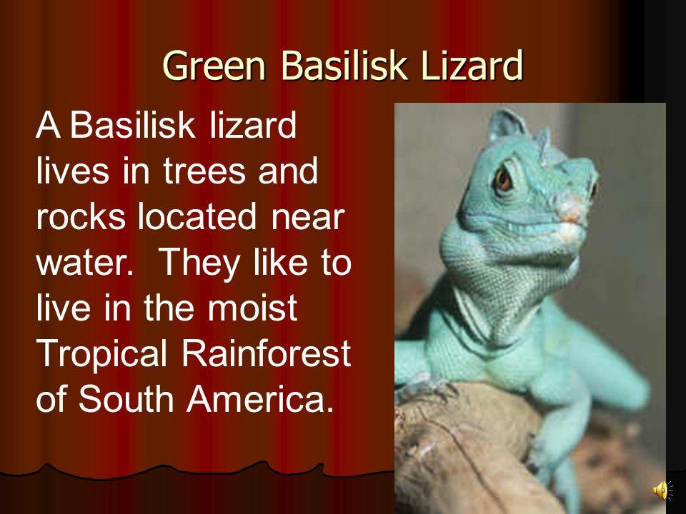 The Basilisk lizard is a reptile.The Basilisk lizard is a reptile.