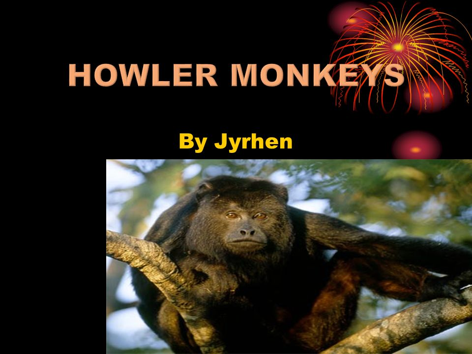 By Jyrhen The highly vocal howler monkey is the largest of the New World monkeys.