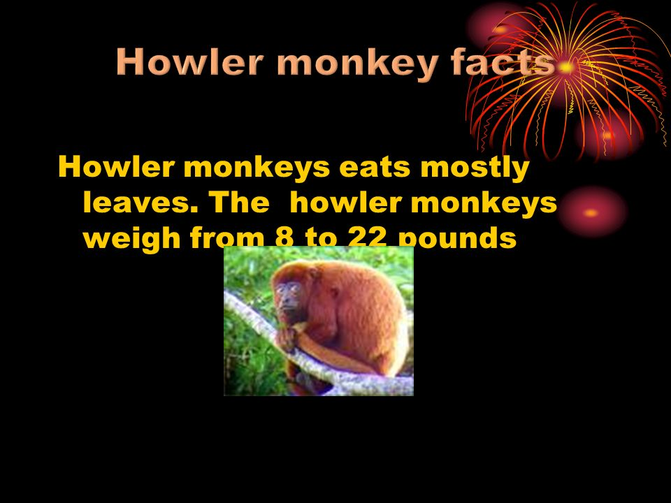 Howler monkeys eats mostly leaves. The howler monkeys weigh from 8 to 22 pounds