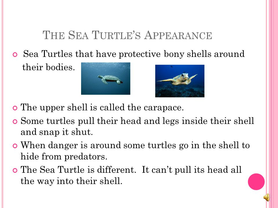 A S EA T URTLE S A PPEARANCE The sea turtle has no teeth. It has a hard shell. Sea turtles however cannot pull their heads into their shells. They hav